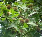 100%自然なSweetgumのフルーツのエキス、SweetgumのフルーツP.E.の4:1 ~20: 1