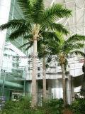 庭の装飾のための擬似王ココヤシの木の木