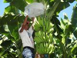 Couverture Tourner-Métallisée de groupe de banane de pp