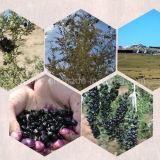 Níspero Wolfberry Negro bayas de Goji