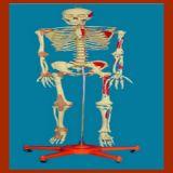 170 Modèle Cm Squelette humain médical avec Muscle & Ligament Peint