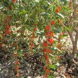 Красный цвет Gojiberry трав Lbp мушмулы органический