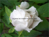 Extrato branco natural do Peony de Paeoniflorin