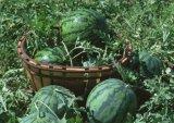 Poeder van het Vruchtesap van de Watermeloen van 100% het Zuivere Natuurlijke Verse Voor het Voedsel van de Drank/de Drank van het Sap