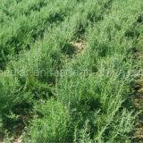 Bacca nera di Goji delle erbe organiche della nespola