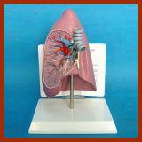 プラスチック人間の解剖肺モデル