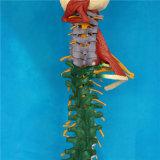 Etiquetada suave Modelo del esqueleto humano de la espina dorsal para la Enseñanza Médica (R020706)