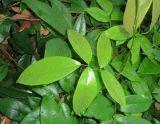 Rotenon des Rotenon-Auszug-50%-98% für natürliches Schädlingsbekämpfungsmittel