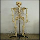 fornitore di modello biologico di modello di scheletro umano di plastica di 170cm (toracico trasparente)