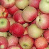 Gala roja fresca china Apple de la huerta a su almacén