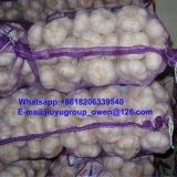 新しい穀物の正常で白いニンニク