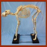 Modelo grande felino do esqueleto do cão da venda quente