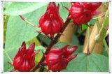 Auszug-Puder 10:1 der Fabrik natürliches Roselle/Ilibiscus