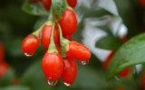 Fonte dos frutos secos de HACCP Goji