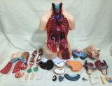 Multi Género Medical Care anatómico del torso del cuerpo humano