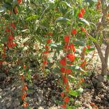 Erbe di Wolfberry della bacca di Goji della nespola