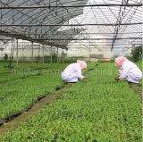 Goji secado orgánico nativo Wolfberry-150PCS/50g