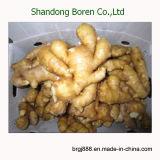 Supplier especializado de Fresh y de Dried Ginger