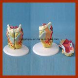 Modello naturale umano della laringe di formato con Thyroidea per il rifornimento del laboratorio