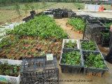 Unigrow organisches Biodüngemittel auf dem Passionsfrucht-Pflanzen