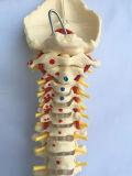 Het medische Model van de Beenderen van het Skelet van de Stekel van het Onderwijs Menselijke Geëtiketteerdef (R020712)