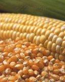 Repas jaune de gluten de maïs de poudre