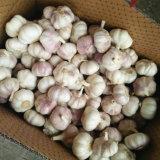 Пурпуровый чеснок китайца хорошего качества