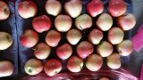 Fresco Gala Apple Red Star Apple