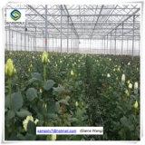 Serra idroponica dello strato del PC della fabbrica della Cina per il pomodoro