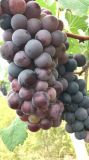 Fertilizante orgánico de Unigrow para el establecimiento de la uva, una producción más alta y la calidad