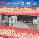 Het Automatische Systeem van de Kooi van de Laag van de kip voor Zambia