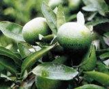 Pomeranze-Auszug Synephrine Zitrusfrucht Aurantium Auszug-Puder