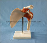 Modello di sinistra artificiale di modello medico della giuntura di spalla per i rifornimenti di banco all'ingrosso