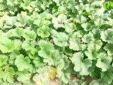 Китайские новые семена тыквы кожи Shine урожая к Европ