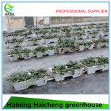 Hydroponic стеклянная зеленая дом для засаживать томата