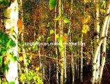 シラカバの葉のエキスFlavonoides 5% Byuv