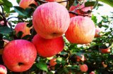 El 100% Apple natural de Kingherbs extrae: Polifenoles el 50% - el 80%;