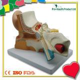 Медицинская анатомическая пластичная модель внутреннееого ух уха