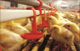 دجاجة يتوالد تجهيز في دواجن منزل مع [لوو بريس]
