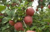 Estrella roja Apple de la nueva estación fresca