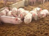 Fermentation animal Inoculant para a alimentação animal e o suplemento nutritivo