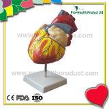 El corazón humano de la amplificación doble de la talla en 4 ensambla partes con el modelo anatómico de la educación de la NOTA del número (pH03-071)