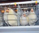 Système de matériel de cage d'éleveur de ferme avicole (un type bâti)