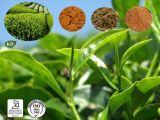 Extracto herbario del té verde del extracto con EGCG y los polifenoles del té