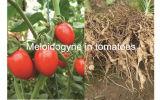 高く効率的で新しい殺虫剤の公式Wdg Fosthiazate及びAbamectin