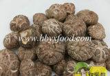 Cogumelo de Shiitake secado selvagem natural autêntico com tira de cor do chá