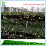Chambre verte en verre hydroponique pour la plantation de tomate