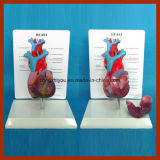 Modelo anatómico de la talla de la sangre del corazón largo humano físico del tubo con la placa de la descripción