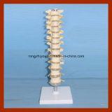 Modello toracico a grandezza naturale di plastica della colonna spinale della vertebra