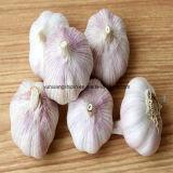 Белая нового чеснока урожая свежего чисто и нормальная белизна